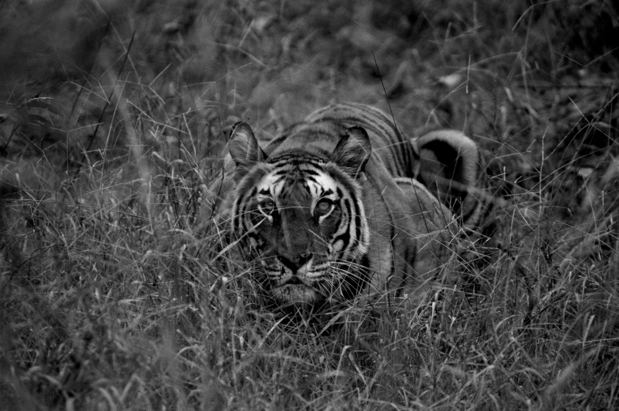 Speaking In Defense Of a Proud and Dying Breed—The Tiger