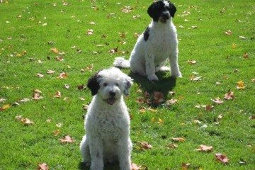 White_and_Black_Portuguese_Water_Dogs