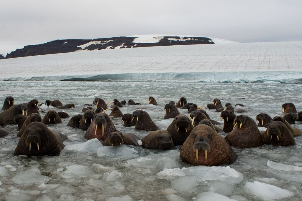 walruses in water