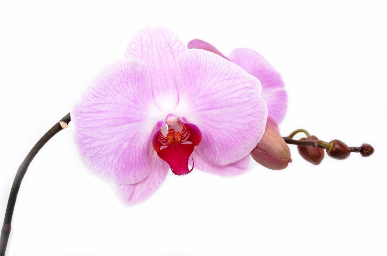 orchid-flower-1371143407Yen